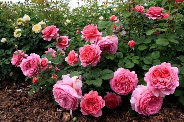 Обрезка плетистых роз осенью для начинающих