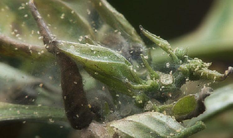 Выращивание перцев в теплице из поликарбоната