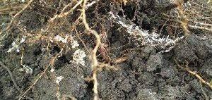 Растения не образуют микоризы с