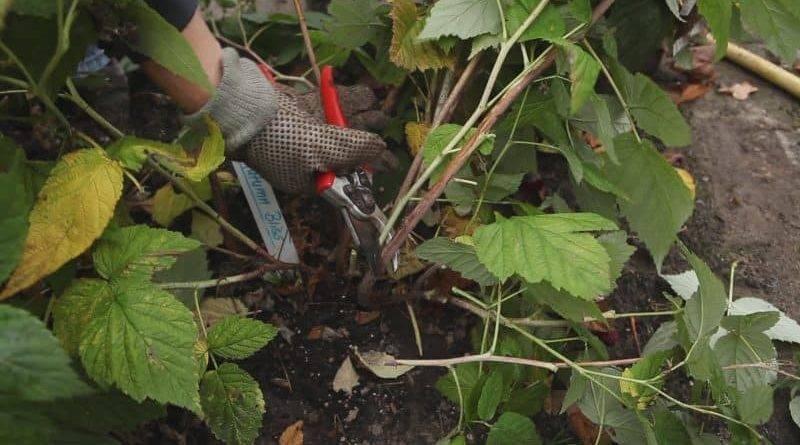 Ремонтантная малина уход осенью обрезка видео