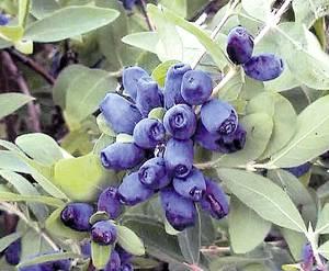 Синие ягоды кустарник название