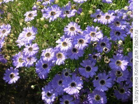 Маленькие синие цветочки название