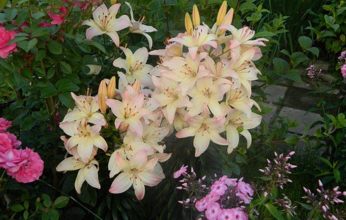 Лилия 100 цветков на одном стебле
