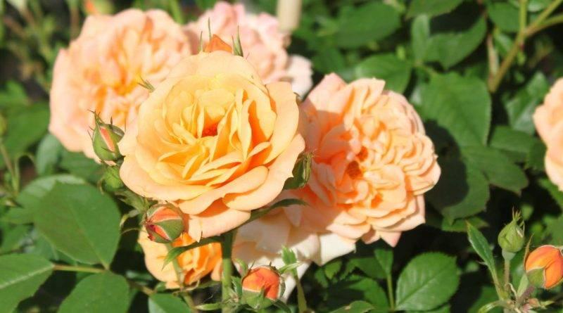 Роза клементина фото