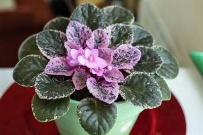 Почему не цветет сенполия