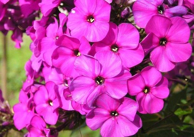 Темно фиолетовые цветы