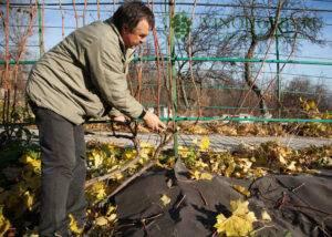 Как ухаживать за молодым виноградом