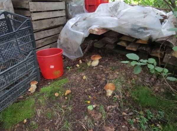 Когда собирают белые грибы
