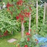 Обрезка красной смородины весной