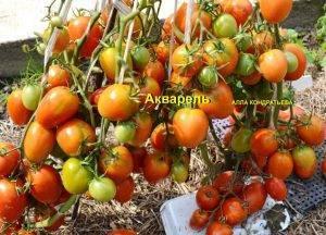 Семена помидоров от коллекционеров