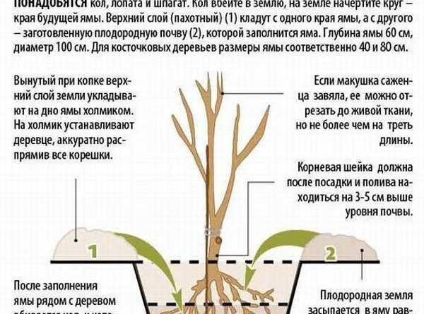 Черешня леся