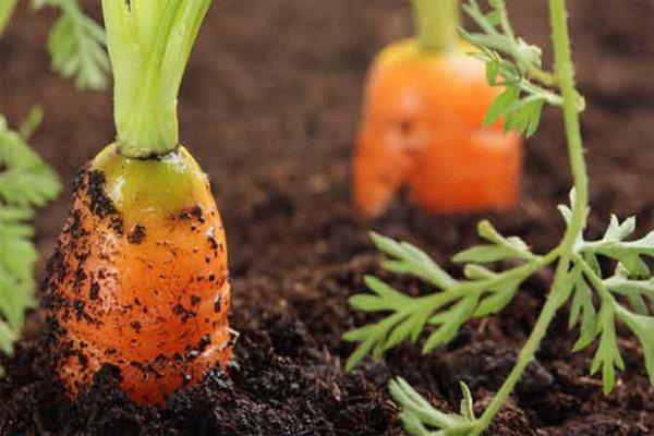 Почему морковь червивая