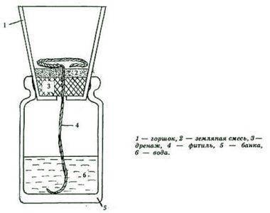 Размножение туи черенками в домашних условиях