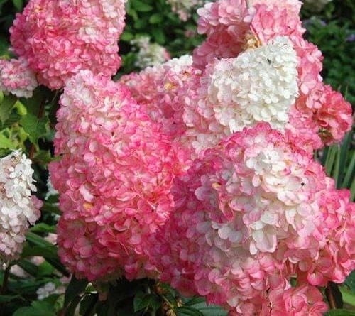 Гортензия метельчатая pink diamond