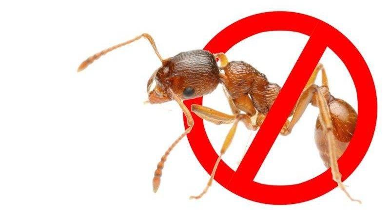 Как убить муравьев