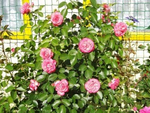Сибирская роза