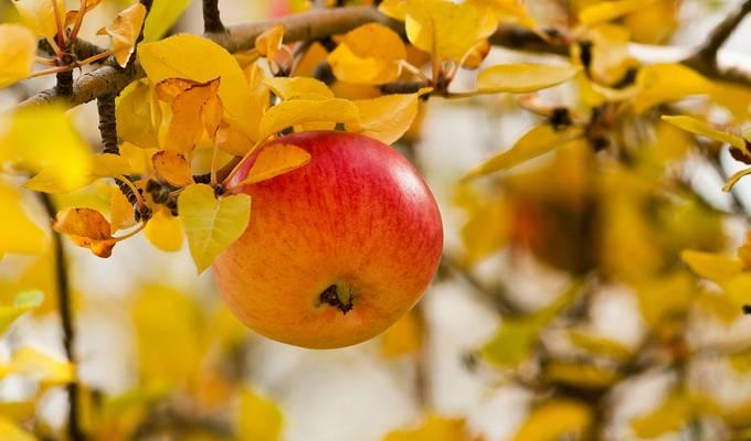 Популярные сорта яблок в россии