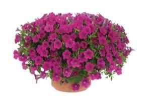 Petunia little shiraz