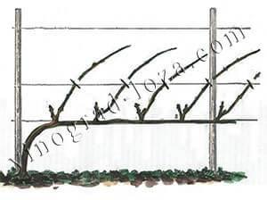 Формирование куста винограда на одноплоскостной шпалере