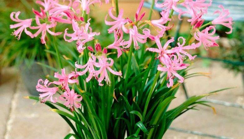 Первоцветы луковичные фото и названия