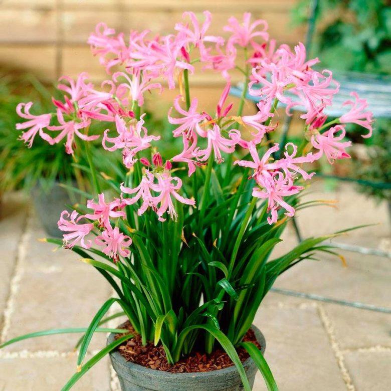 Цветы клубневые многолетние садовые
