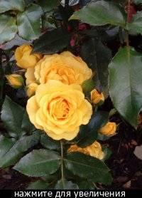 Розы савченко