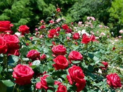 Информация о розе цветок