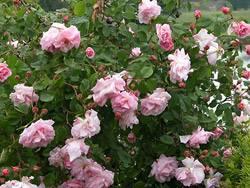 Особенности розы