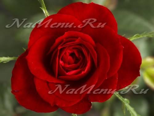 Что добавляют в воду для роз