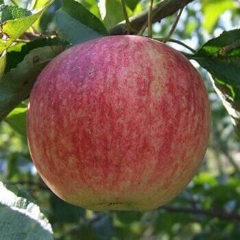 Сорта зеленых яблок с фото и описанием