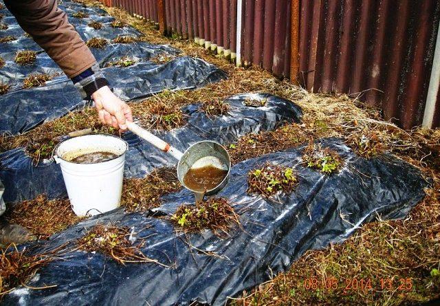 Чем удобрять клубнику на зиму