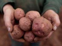 Картофель репанка описание сорта фото
