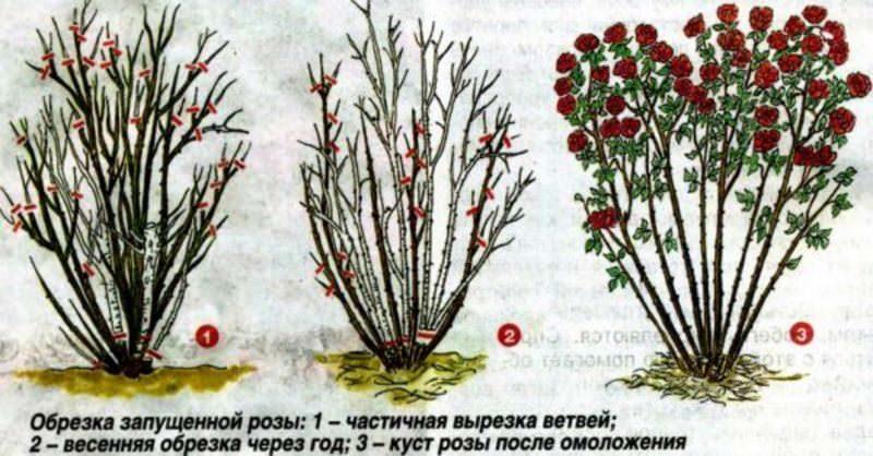 Можно ли обрезать розы осенью
