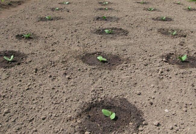 Выращивание арбуза в домашних условиях