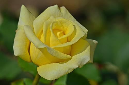 Роза landora