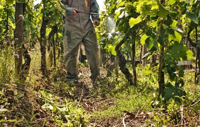 Обработка виноградной лозы перед укрытием на зиму
