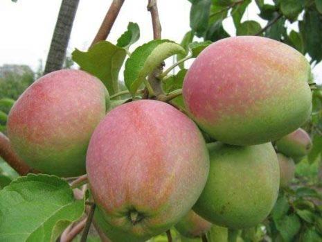 Яблони устойчивые к парше