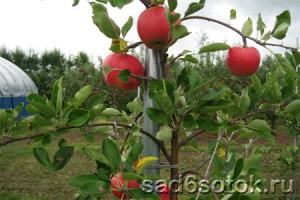 Первая обрезка яблони