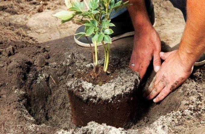 Как рассадить пионы и когда