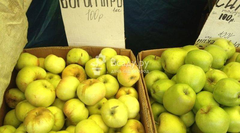 Сорт яблони карамелька