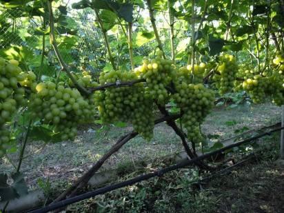 Окулировка винограда