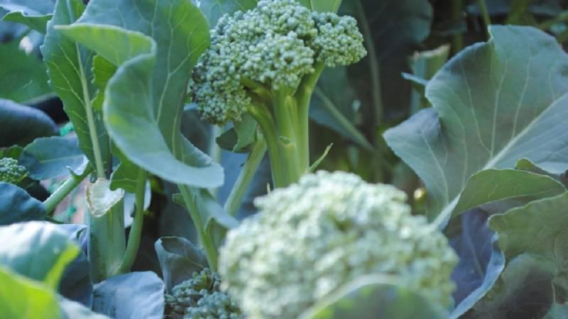 Технология выращивания брокколи