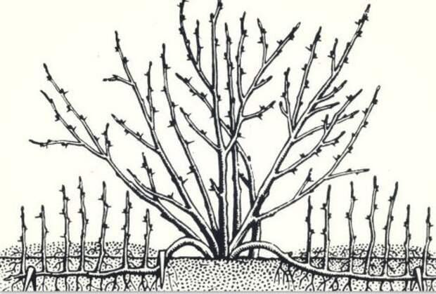 Барбарис рисунок