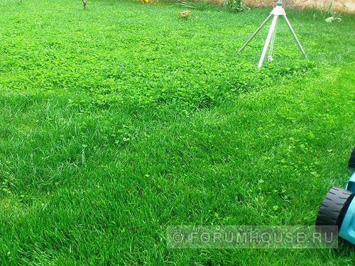 Клевер низкорослый для газона