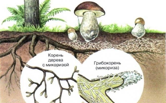 Микориза гриба представляет собой
