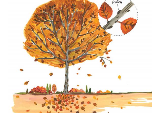 Листья каких деревьев осенью краснеют