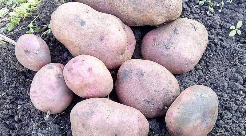 Меристемный картофель