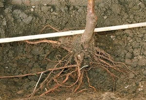 Как правильно садить саженцы плодовых деревьев видео