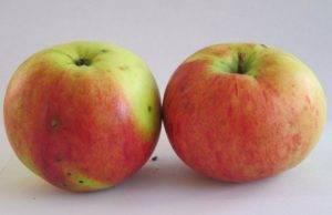 Яблоня витязь описание фото