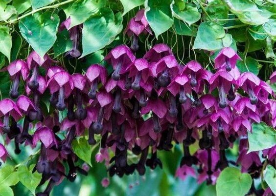 Вьющиеся цветы для сада многолетние